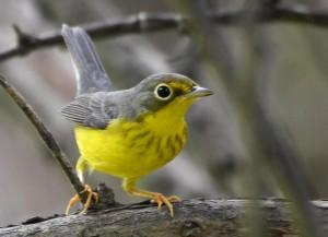 BirdsEye Canada Warbler © Steven Mlodinow