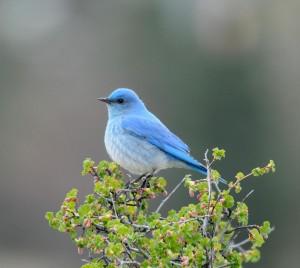 BirdsEye Mountain Bluebird Mountain Bluebird © Steven Mlodinow