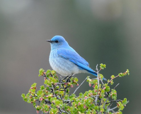 BirdsEye Mountain Bluebird Mountain Bluebird © Steven Mlodinow