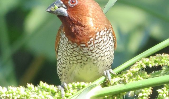 Scaly-breasted Munia by Dave Bell