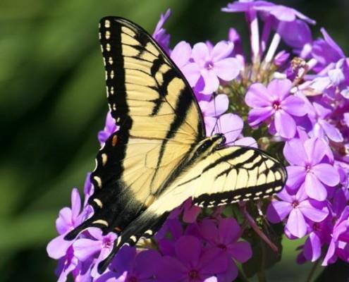 Eastern Tiger Swallowtail © Dan Tallman