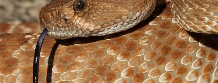 Red Diamond Rattlesnake (Crotalus ruber)