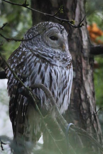Barred Owls in Portland's Natural Areas   Natural Areas ...  Owls Portland Oregon