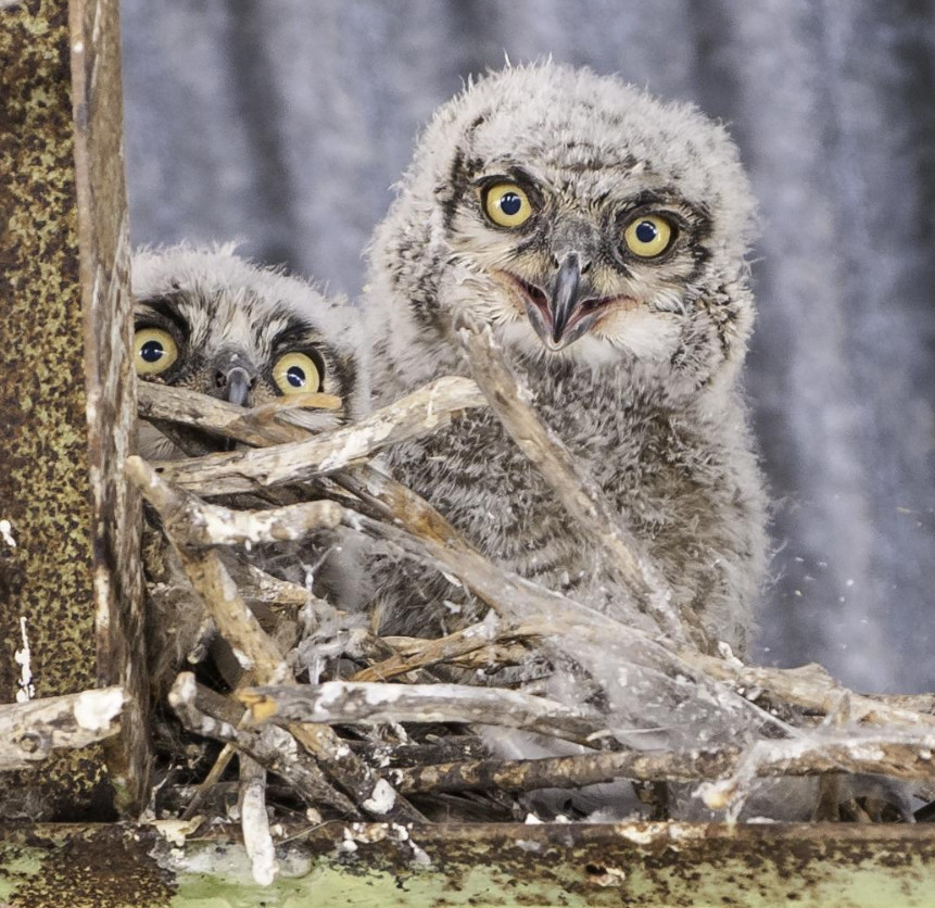 Great Horned Owlets, photo by Jason C Rose