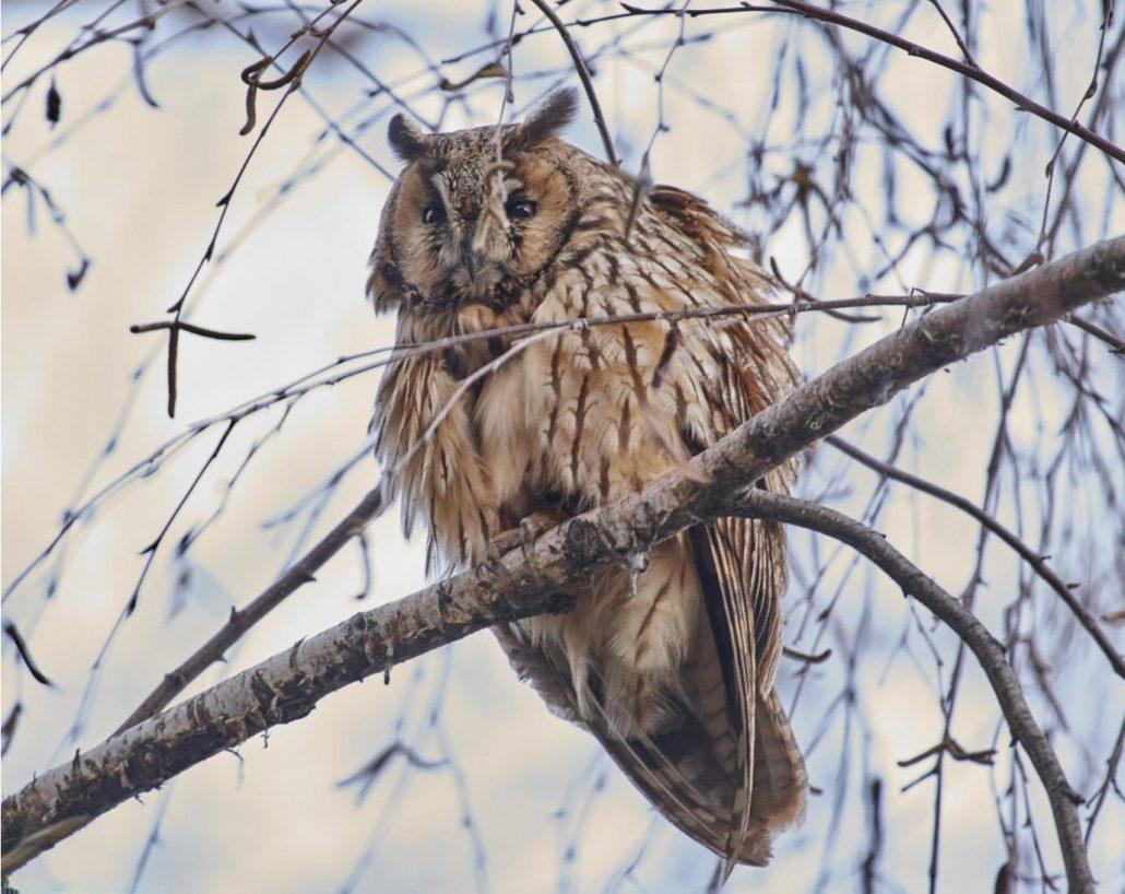 Long-eared Owl, photo by cheema.ss@gmai.com